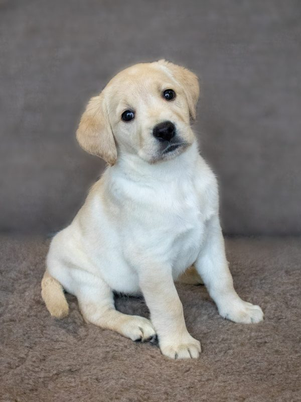 intu Derby announces arrival of its Guide Dog puppy